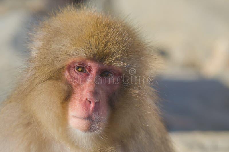 Emociones y expresiones del mono de la nieve: Incredulidad fotografía de archivo