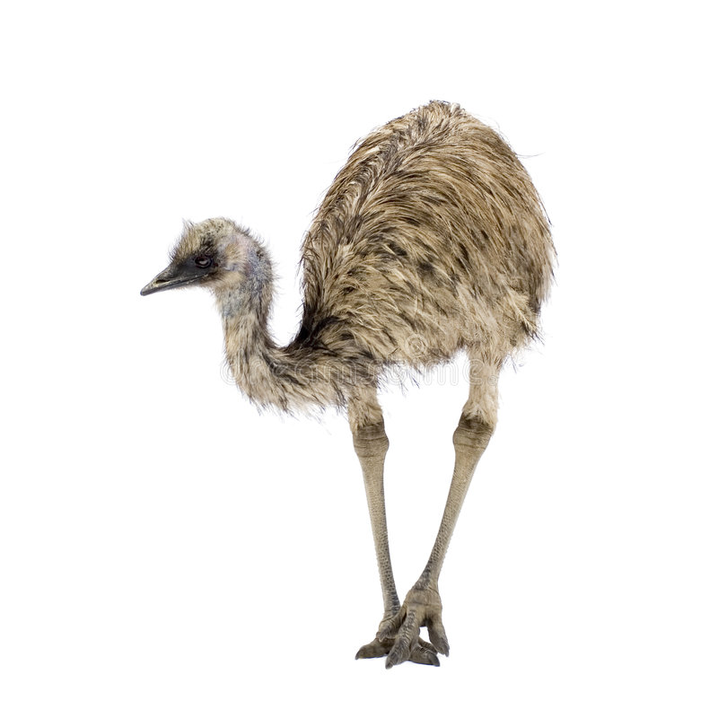 Emoe stock afbeelding