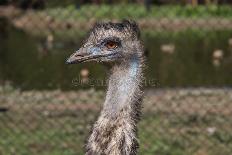 Emoe royalty-vrije stock foto's