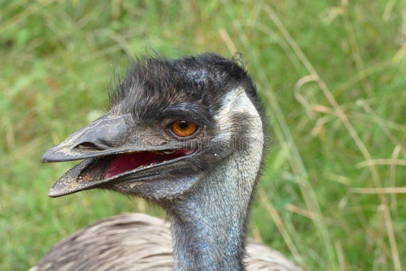 Emoe royalty-vrije stock afbeelding