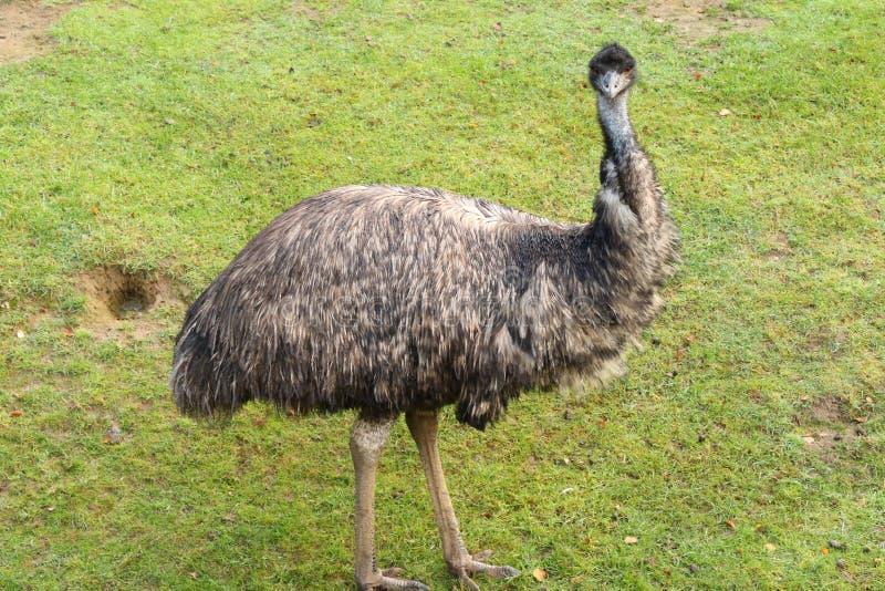Emoe bij Banham-Dierentuin stock afbeeldingen
