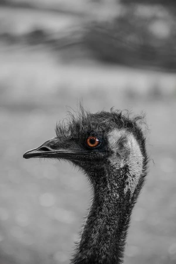 Emoe in het Australische Binnenland royalty-vrije stock fotografie