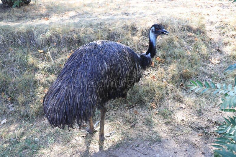 EMOEstruisvogel op de achtergrond van gebrand gras royalty-vrije stock foto