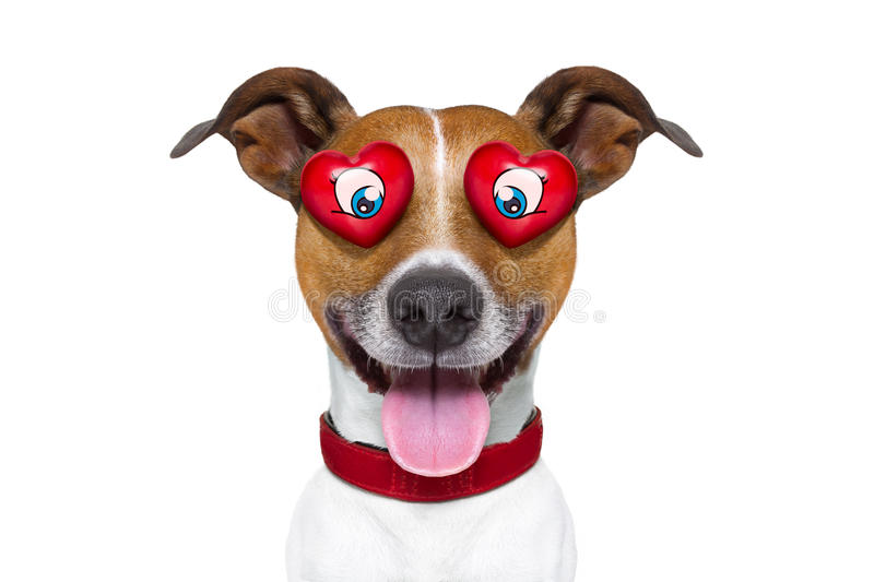 Emoticon or Emoji crazy in love. Jack russell terrier emoticon or emoji dog funny silly and crazy in love with heart on eyes , sticking out the tongue, isolated royalty free stock photos