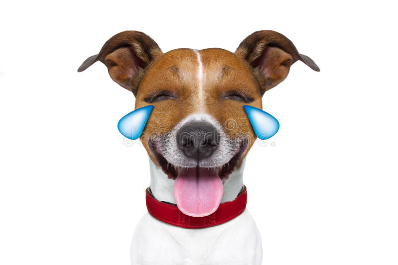 Emoticon or Emoji dumb crying laughing dog. Jack russell terrier emoticon or emoji dog funny silly cry and laughing , sticking out the tongue, isolated on white stock images