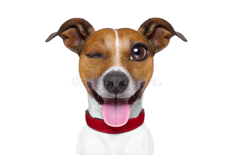 Emoticon or Emoji dumb silly dog. Jack russell terrier emoticon or emoji dog funny silly crazy and dumb sticking out the tongue, isolated on white background stock photos