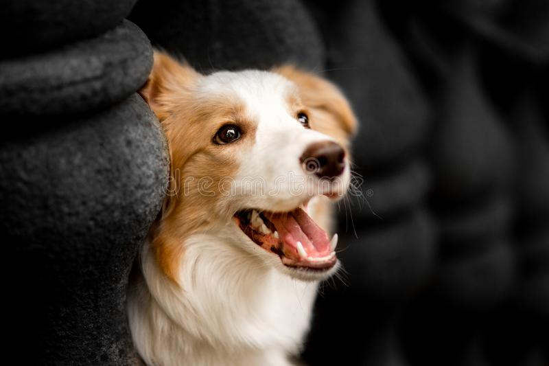 Emotion photo down red border collie with columns royalty free stock photos