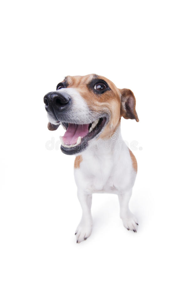 Emotional animal. Nice, cute dog Jack Russell terrier with pleasure looks at the camera and smiling. Chuckle. trick stock photos