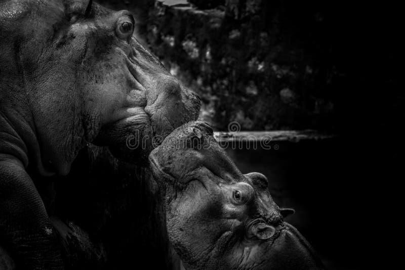 Emotionellt förhållande för för flodhästmoder och barn med förälskelse och omsorg fotografering för bildbyråer