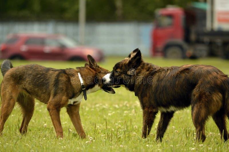 Emozioni degli animali Due giovani cani sono amici Interazione fra i cani Aspetti comportamentistici degli animali immagini stock libere da diritti