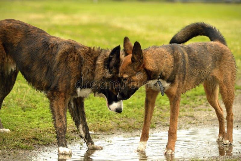 Emozioni degli animali Due giovani cani sono amici Interazione fra i cani Aspetti comportamentistici degli animali fotografia stock libera da diritti