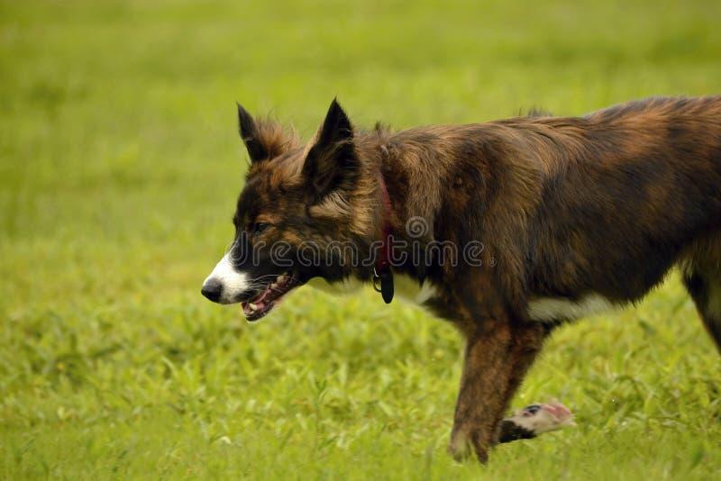 Emozioni degli animali Giovane cane energetico su una passeggiata Istruzione dei cuccioli, cynology, addestramento intensivo di g fotografia stock