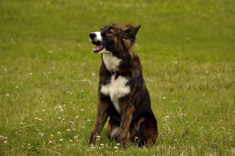 Emozioni degli animali Giovane cane energetico su una passeggiata Istruzione dei cuccioli, cynology, addestramento intensivo di g fotografia stock libera da diritti