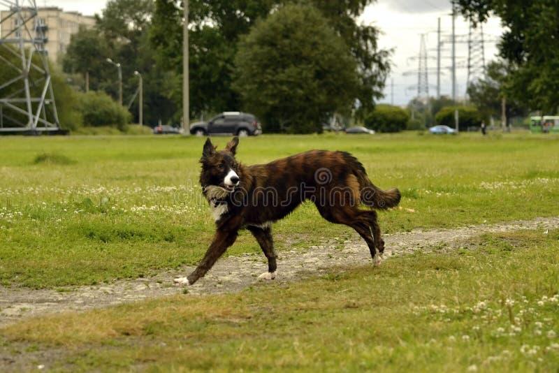 Emozioni degli animali Giovane cane energetico su una passeggiata Istruzione dei cuccioli, cynology, addestramento intensivo di g immagine stock