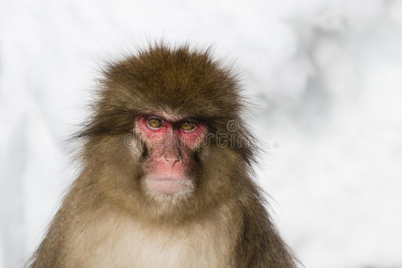 Emozioni ed espressioni della scimmia della neve: Rabbia fotografie stock libere da diritti