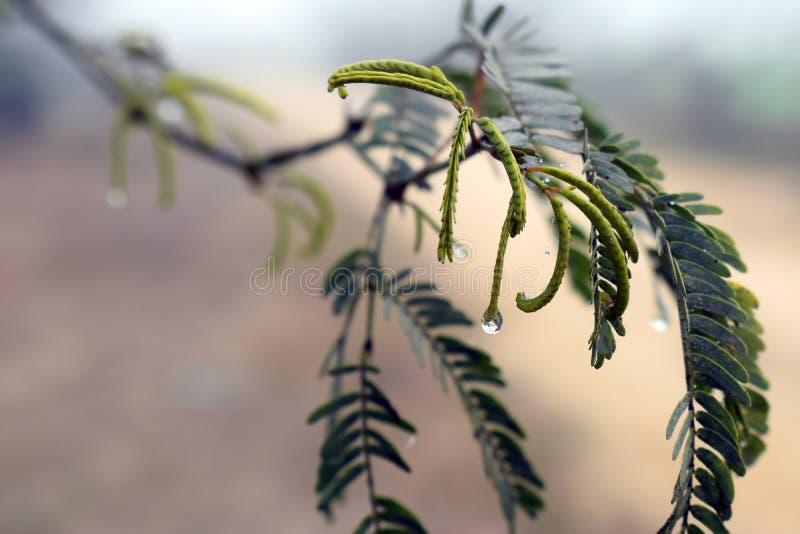 Empañe las gotitas, cerca de la niebla, descensos del agua en un árbol del babool fotos de archivo