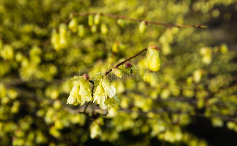 Empalideça - a avelã de inverno de florescência amarela do fim fotografia de stock royalty free