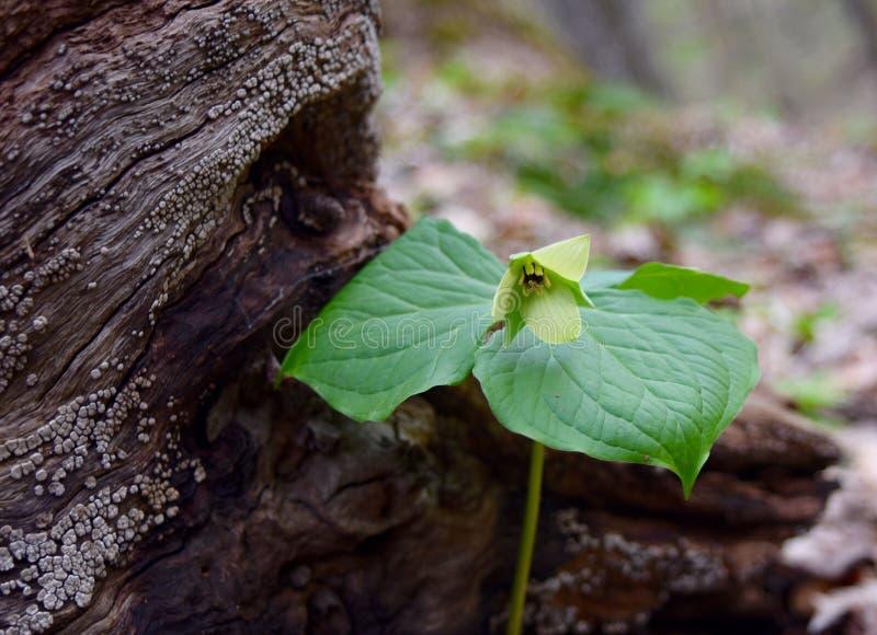 Empalideça - a flor amarela e as folhas verdes de um trillium vermelho incomum que emerge por um log imagem de stock royalty free