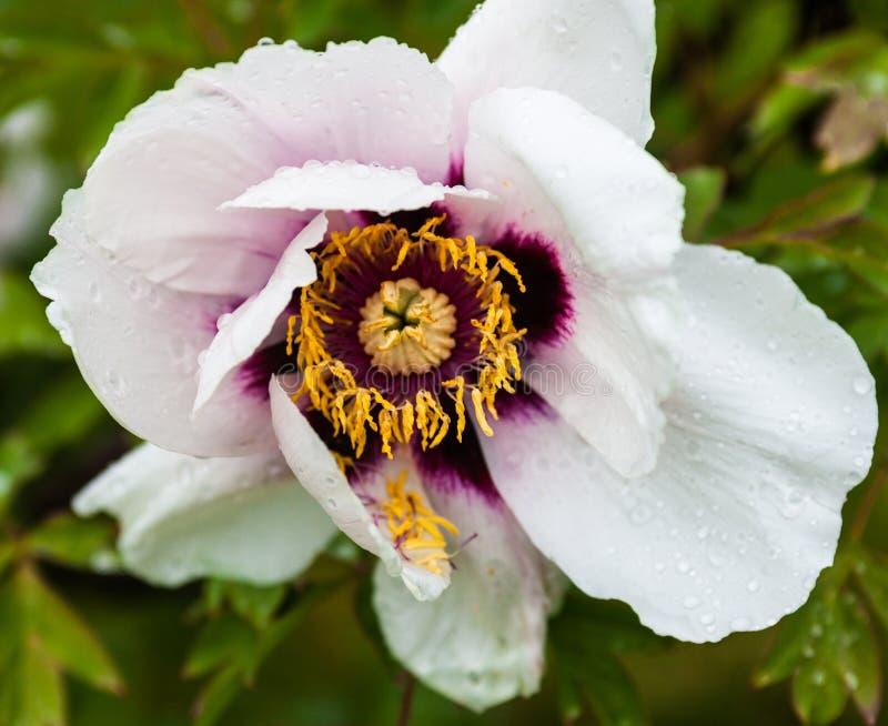 Empalideça - a flor cor-de-rosa da peônia com gotas do orvalho foto de stock