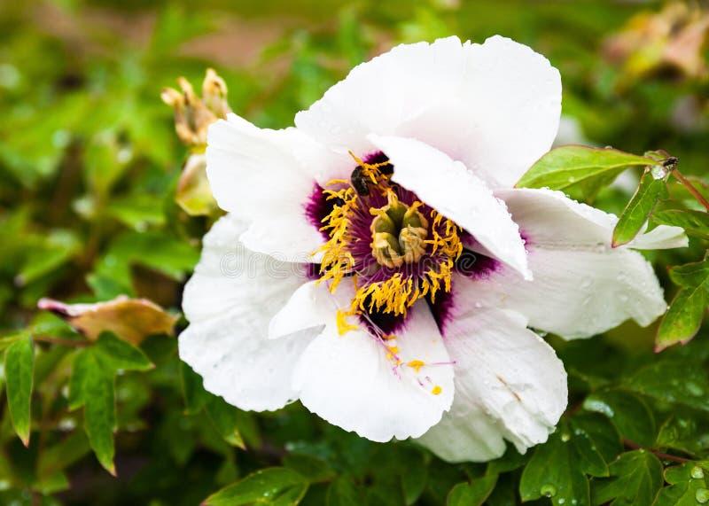 Empalideça - a flor cor-de-rosa da peônia com gotas do orvalho fotografia de stock royalty free