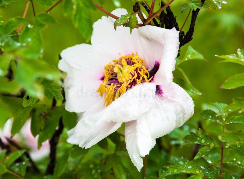 Empalideça - a flor cor-de-rosa da peônia com gotas do orvalho imagem de stock royalty free