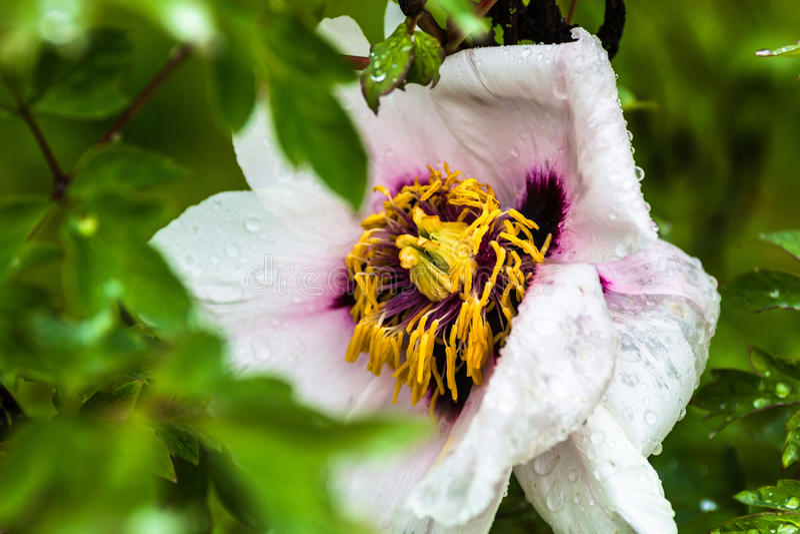 Empalideça - a flor cor-de-rosa da peônia com gotas do orvalho fotografia de stock