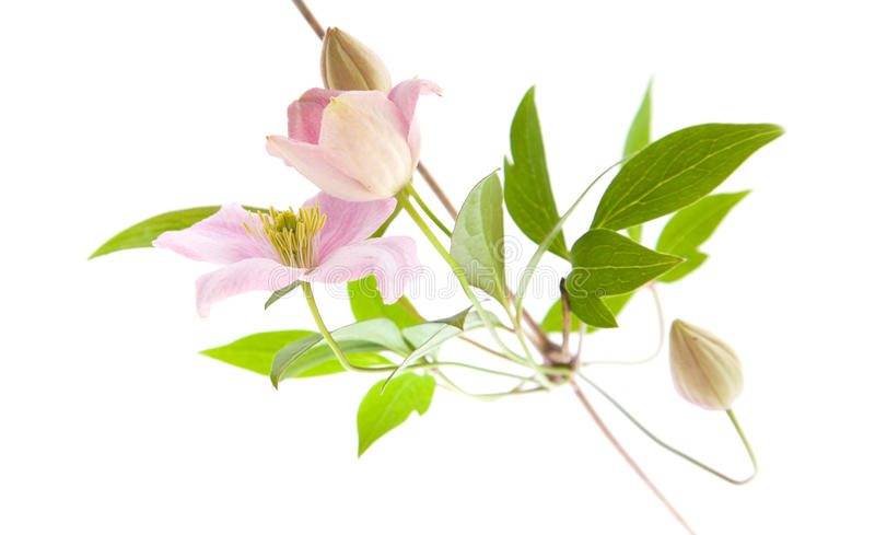 Empalideça - o clematis cor-de-rosa, fotos de stock