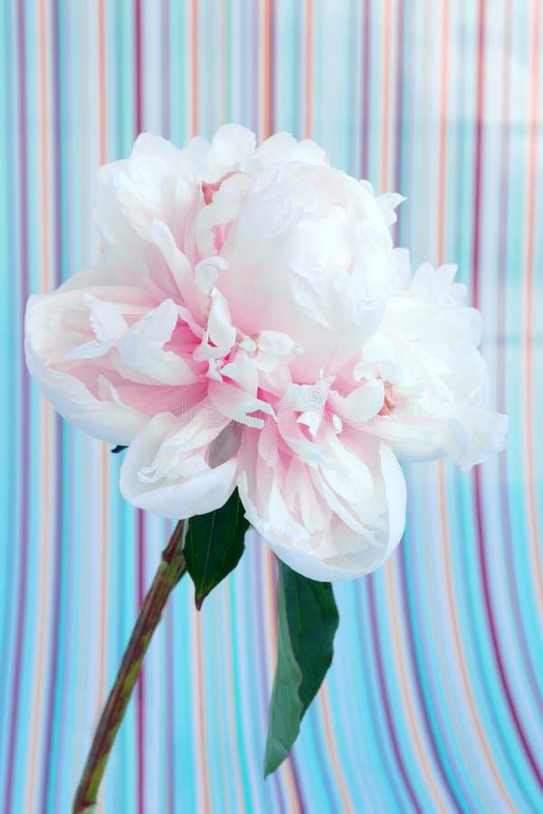 Empalideça - o macro cor-de-rosa da flor da peônia em um fundo listrado fotos de stock