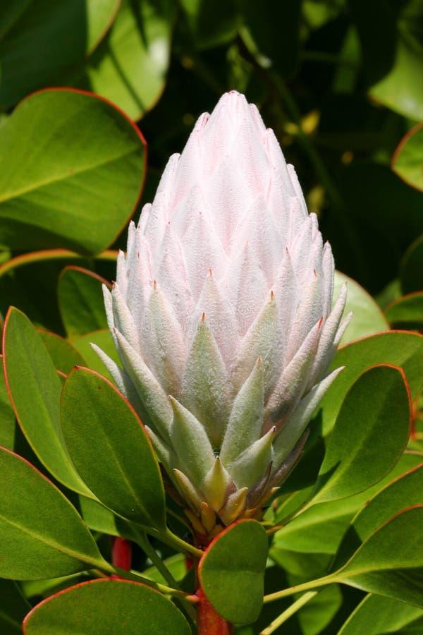Empalideça - o Protea cor-de-rosa Cynaroides fotografia de stock royalty free