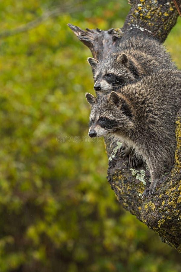 Emparéjese de la mirada del lotor del Procyon de los mapaches dejada a partir de otoño del árbol fotos de archivo libres de regalías