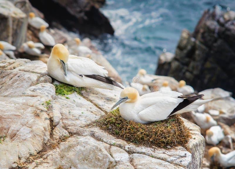 Emparéjese de los pájaros Gannets septentrional en una roca en las islas de Saltee imagen de archivo