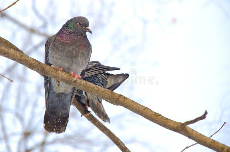 Emparéjese de palomas en una rama foto de archivo libre de regalías