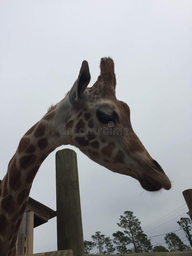 Empar?jese de jirafas en una pluma de madera que es alimentada lechuga con la cabeza que se acerca a la gran naturaleza de la c?m imagenes de archivo