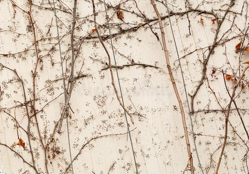 Emparede el fondo vegetativo de las uvas de la liana del humor seco salvaje del otoño imagenes de archivo