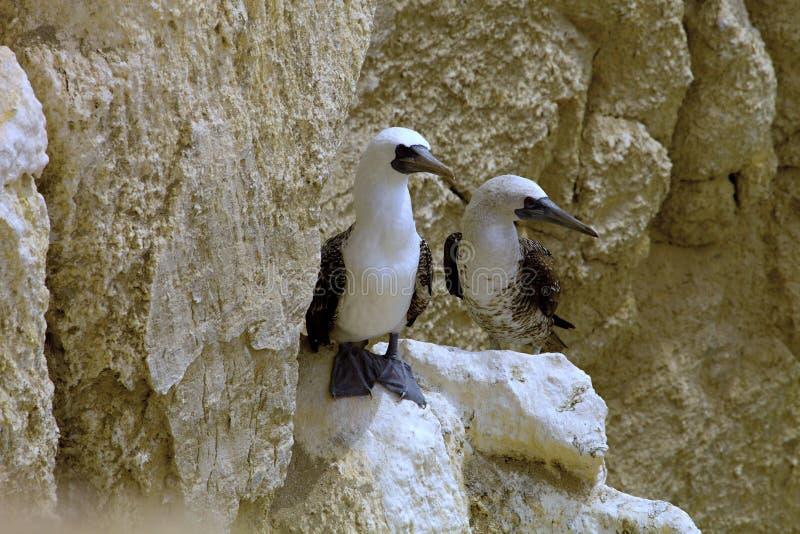 Empareje al bobo peruano, variegata del Sula, un isla de Balesate, Perú de la roca fotografía de archivo