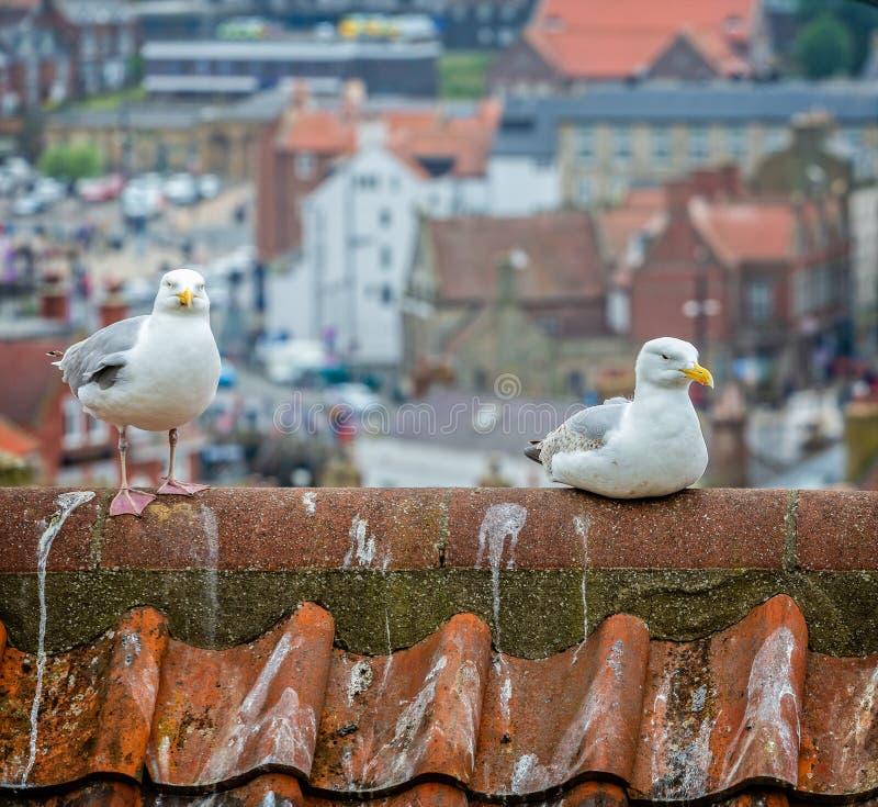 Emparelhe das gaivotas na parte superior do telhado foto de stock royalty free