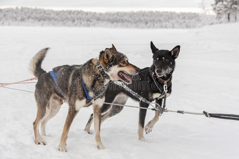 Emparelhe dos cães de puxar trenós que esperam para correr e puxar um trenó imagem de stock