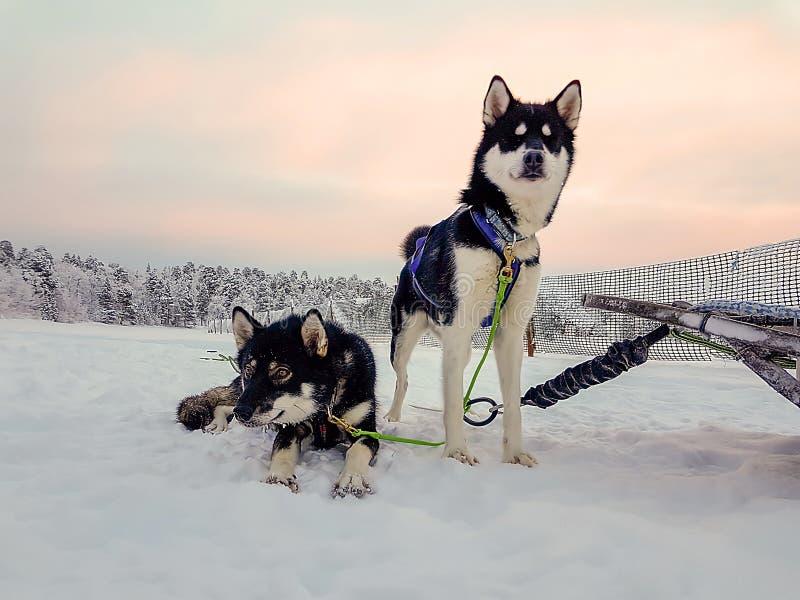 Emparelhe dos cães de puxar trenós que esperam para correr no por do sol e para puxar um trenó fotografia de stock