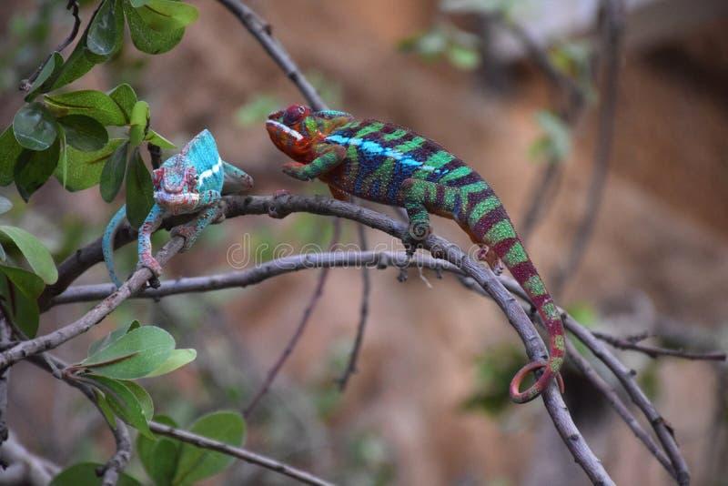 Emparelhe dos camaleões na árvore imagens de stock