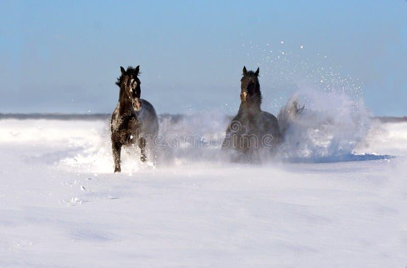 Emparelhe dos cavalos em um dia ensolarado do inverno fotos de stock