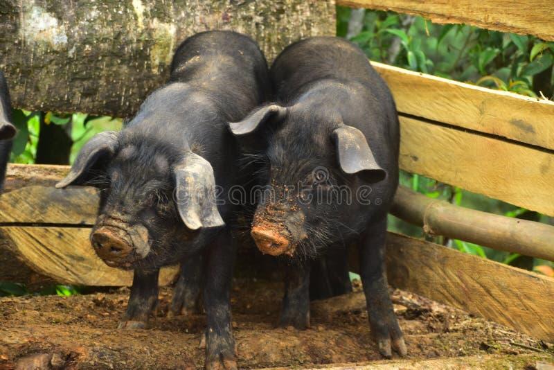 Emparelhe dos porcos locais pretos do ilam nepal fotos de stock