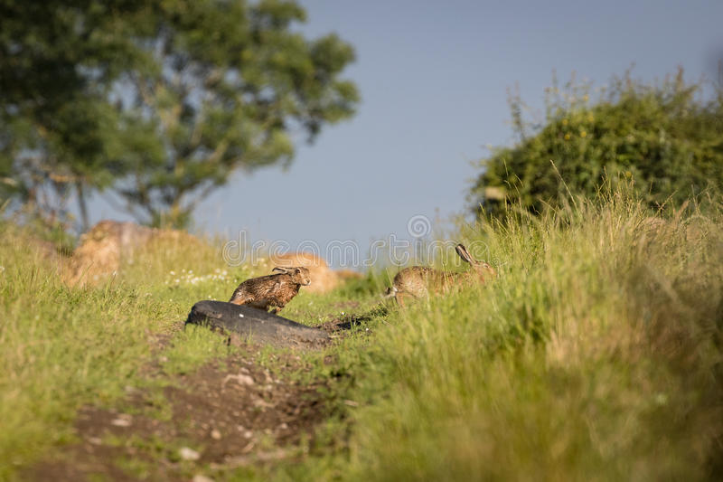 Emparelhe a lebre de Brown que persegue na grama na alta velocidade foto de stock royalty free