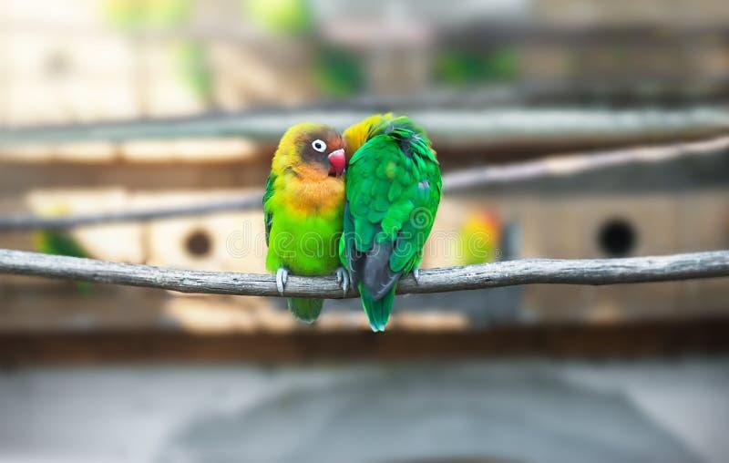 Emparelhe papagaios dos periquitos no ramo imagem de stock royalty free