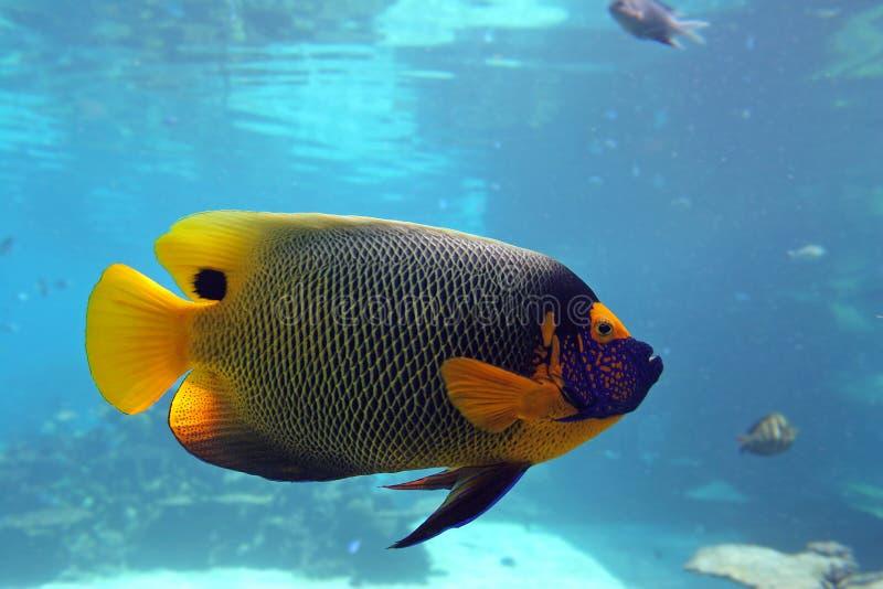 emperfish royaltyfria bilder