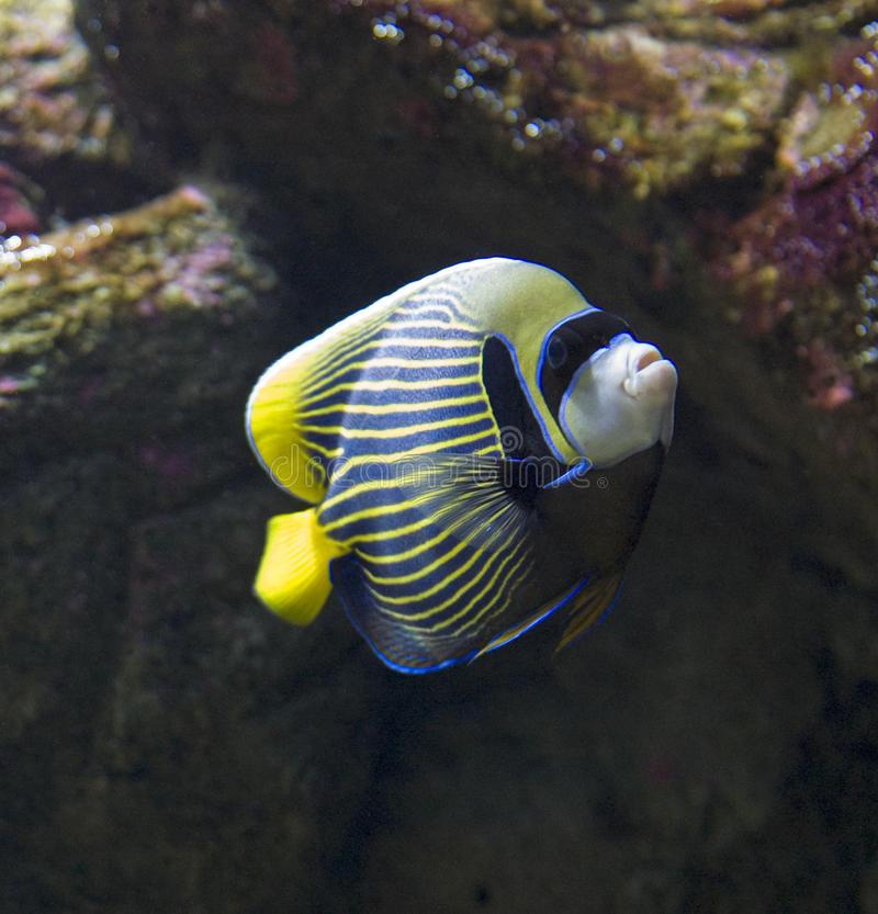 Emperor Angelfish royalty free stock images