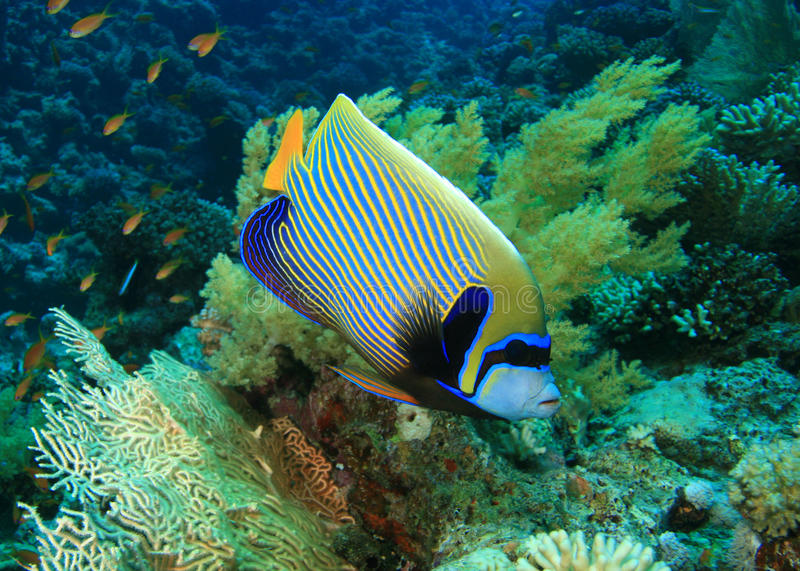 Download Emperor Angelfish stock image. Image of emperor, blue - 13524535