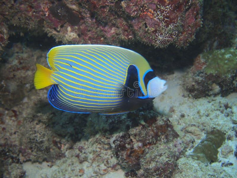 Emperor angelfish royalty free stock image