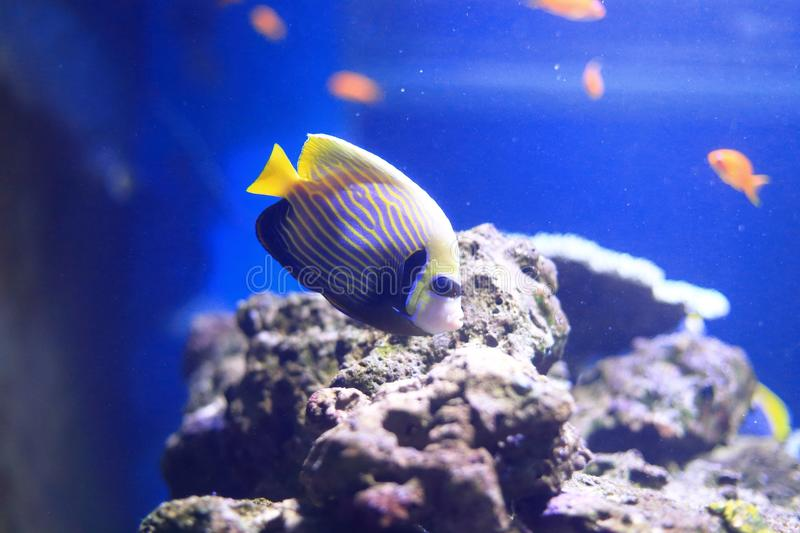 Emperor angelfish. Dwell in reef-associated areas at depths ranging from 1-100 m. Juveniles live alone and inhabit outer lagoon patch reefs or semi-protected royalty free stock images