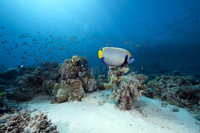 Download Emperor Angelfish And Ocean Stock Photo - Image: 12597644
