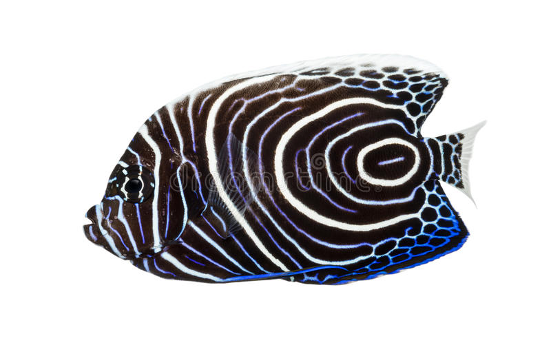 Emperor Angelfish, Pomacanthus imperator,. Side view of an Emperor Angelfish, Pomacanthus imperator, isolated on white stock photography